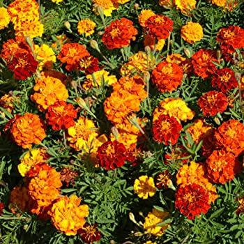 Outsidepride Marigold Flower Seed Mix - 1000 Seeds