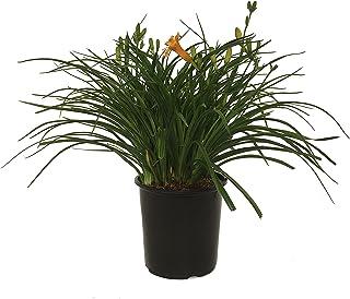 Premier Plant Solutions Daylily, Stella De Oro