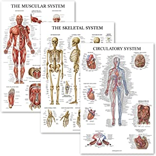 3 Pack - Muscle + Skeleton + Circulatory System Anatomy Poster Set - Muscular and Skeletal System Anatomical Charts - Lami...