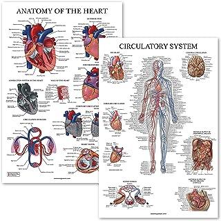 2 Pack - Circulatory System & Heart Anatomy Posters - Set of 2 Anatomical Charts - Laminated 18