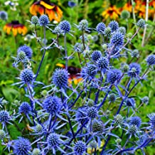 Outsidepride Eryngium Alpinum Flower Seed - 200 Seeds