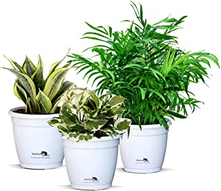Nurturing Green Combo of 3 Air-Purifying plants (indoor oxygen plants to fight pollution) in White Hermes Pots (palm/scindapsus njoi/snake plant)