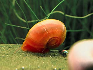 Aquatic Arts 5 Bright Red Ramshorn Snails (1/4 to 1 inch Diameter) - Algae-Eaters and Safe for Fish, Plants, and Shrimp