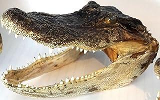 comprar comparacion Real genuino American Alligator Head–5.5pulgadas–6,5cm (6,5pulgadas)