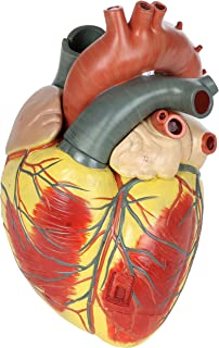 Axis Scientific Large Human Heart Model, 3X Life-Size, 3-Part Numbered Anatomical Heart Illustrates 34 Internal Structures, Magnetically Connected, Includes Product Manual, 3 Year No Hassle Warranty
