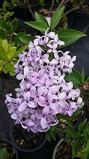 Best palibin dwarf korean lilac tree Reviews