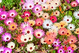 Sweet Yards Seed Co. Annual Iceplant Seeds – Mixed Colors – Extra Large Packet – Over 100,000 Open Pollinated Non-GMO Seeds – Dorotheanthus bellidiformis