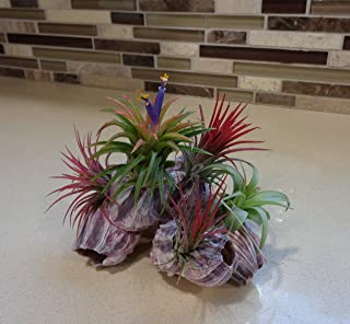 Air Plant and Purple Barnacle Kit