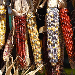Package of 200 Seeds, Ornamental Corn Indian Mixture (Zea mays) Non-GMO Seeds By Seeds