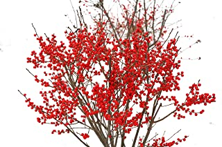 Winter Red Winterberry Holly, 3 GAL