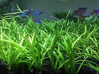 AquaLeaf Aquatics Dwarf Sagitaria – Easy Foreground Aquarium Cover Plant