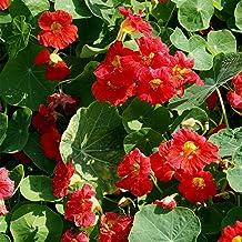 Outsidepride Tropaeolum Nasturtium Cherry Rose Vine & Plant Flower Seeds - 200 Seeds