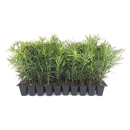 Winter Berry 3 Pack Holly Bush Landscaping Live Plants Nellie R Stevens Holly Tree 6-10 Evergreen Super Roots 4Potted Plants