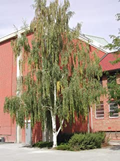 Tree Seeds - 50 Seeds of Weeping White Birch, (Silver Birch), Betula pendula alba (Fast)