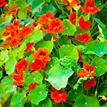 Nasturtium Seeds - Empress of India - 4 Oz - Non-GMO Edible Flower Garden & Microgreens Seeds - Tropaeolum nanum - Grow Mi...
