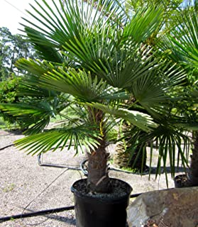 3 Gallon Windmill Palm Trees- an Extremely Hardy Palm Tree with an Attractive, Compact Crown with Large, Stiff, Fan-Like, Green Foliage and Distinctive Hairy Black fibers Covering its Slender, Grace