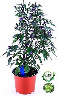 Chili Zimbabwe black, Afrika Chili Pflanze aus Nachhaltigem Anbau!
