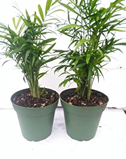 "*Two Victorian Parlor Palm - Chamaedorea - Indestructable - 4"" Pot"