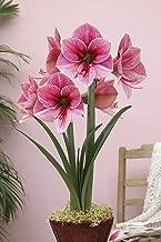 Best purple amaryllis flowers Reviews