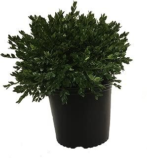 Green Velvet Boxwood - Buxus M. Green Velvet - 3 Gallon