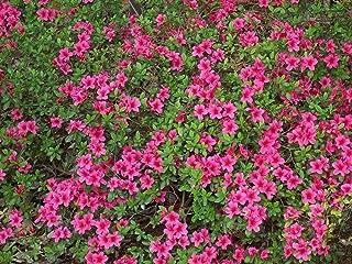 HOT - Rhododendron obtusum Azalea Seeds