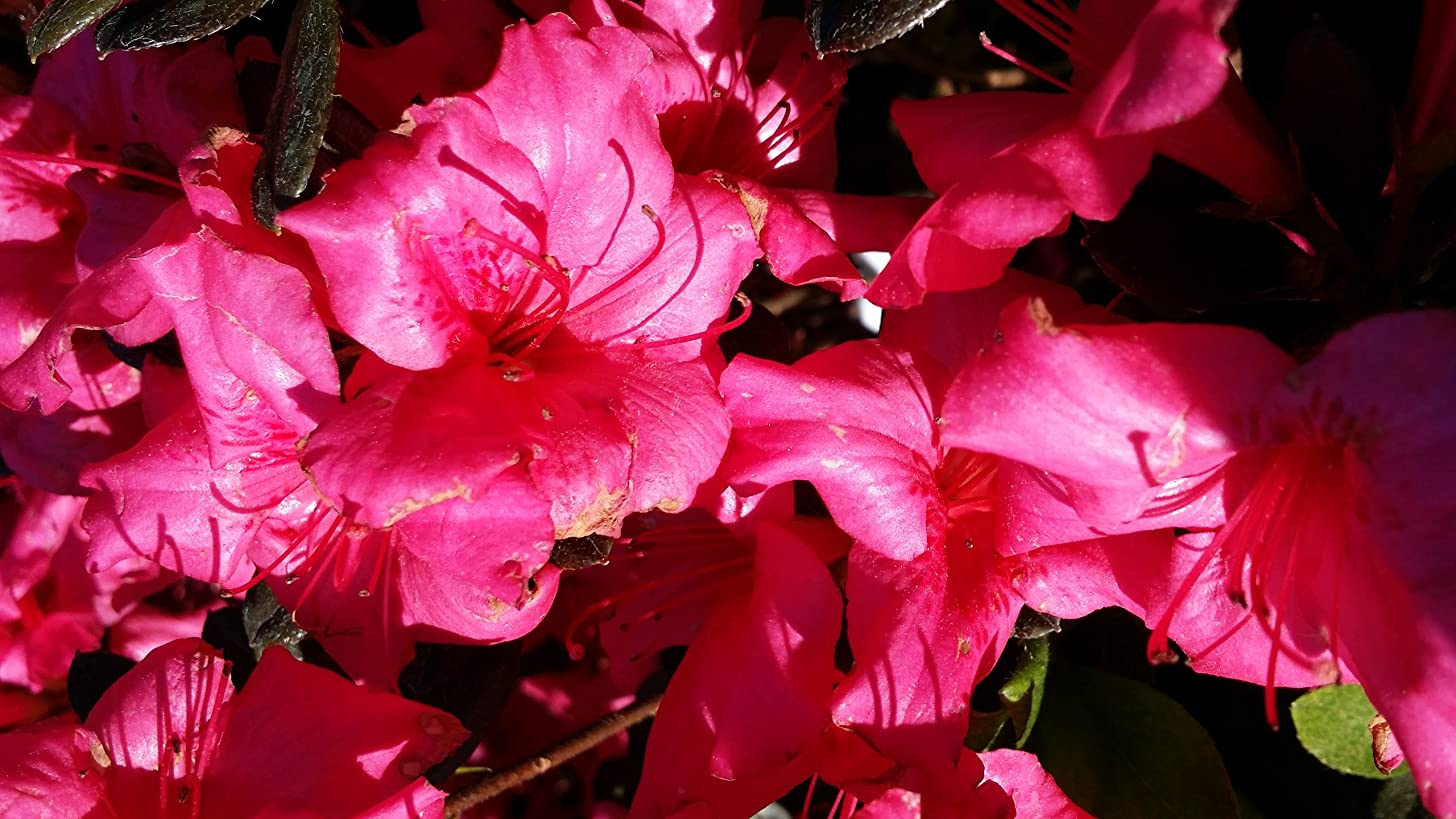 (1 gallon)'Girard's Rose' AZALEA, Dwarf, Deep Rose Red Blooms, Evergreen Shrub, Cold Hardy12-20 inches tall,