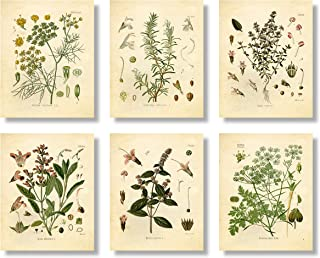 Set of 6 Herb Botanical Prints, Unframed, 8x10 inch Matte, Thyme, Mint, Rosemary, Parsley, Sage, Fennel