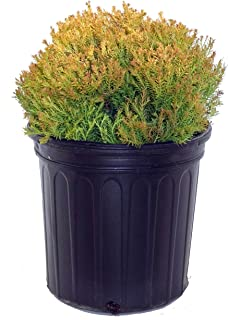 Thuja occidentalis 'Rheingold' (Globe Arborvitae) Evergreen, #2 - Size Container