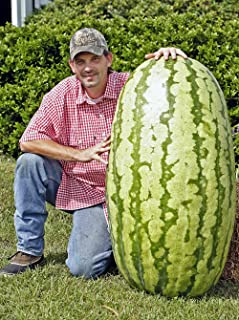 North Carolina Giant Watermelon -10 Seeds- HUGE 200 lbs by Duncan Seed : watermelon