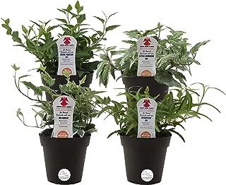 angel vine house plant