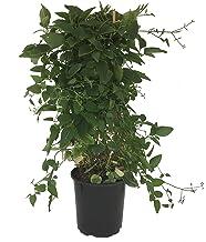 Sweet Autumn Clematis - Clematis Paniculata - 19cm
