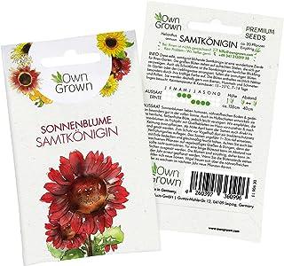 Sonnenblumen Saatgut für rote Sonnenblume Sorte Samtkönigin Helianthus annuus, Premium Sonnenblumen Samen, Sonnenblume Saat zur Anzucht von ca. 20 Sonnenblumen Pflanzen, Blumensamen von OwnGrown
