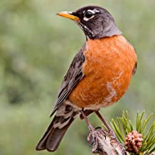 North American Birds Sounds