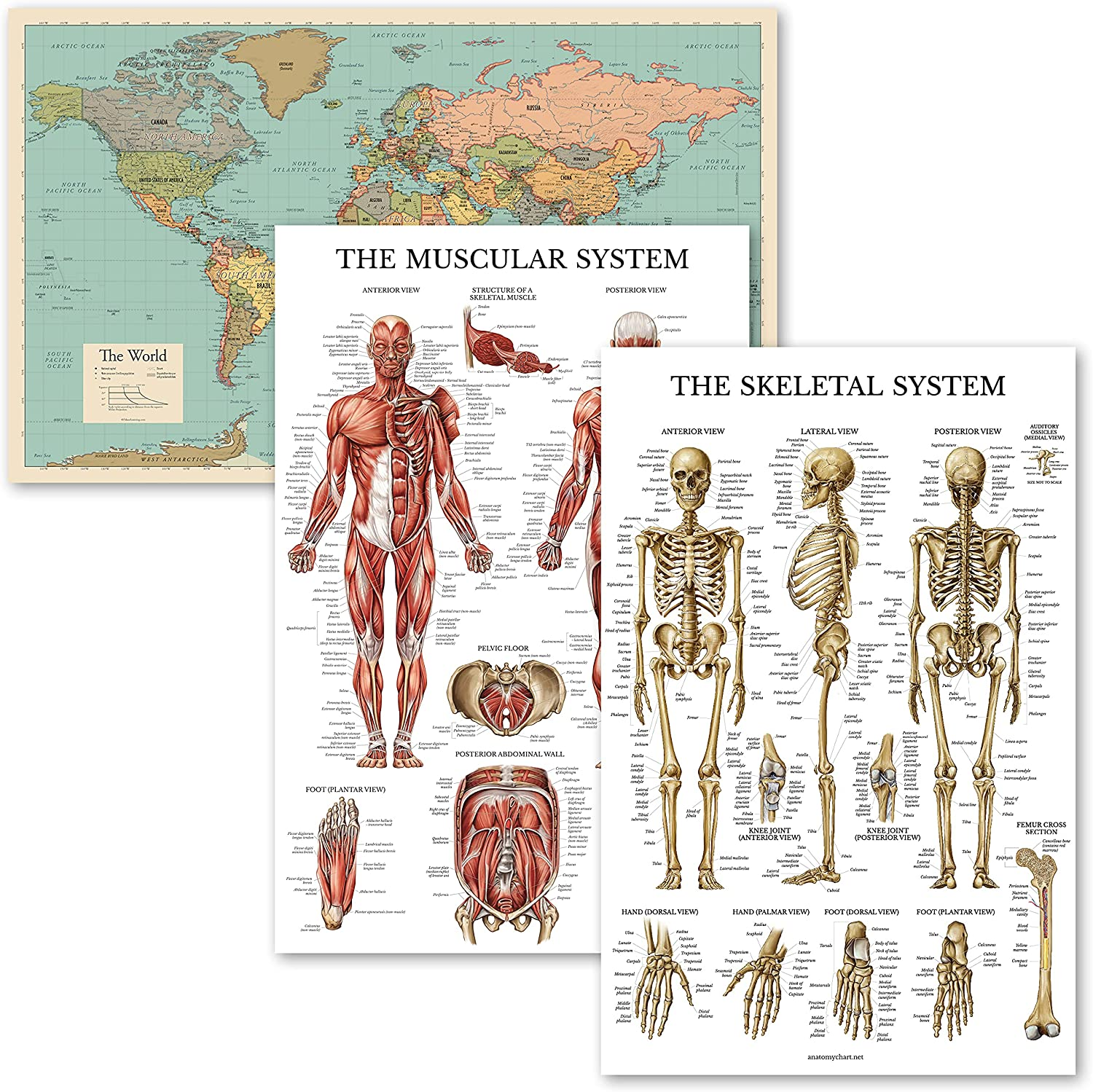 3 Pack - World Map Tan An Direct sale of manufacturer Muscular Limited price sale Color Skeletal System and