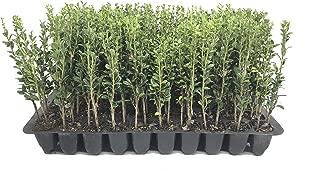 Best japanese holly sky pencil ilex crenata evergreen shrub Reviews