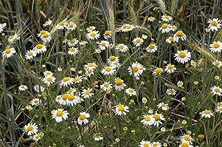 Asklepios-seeds® - 10.000 Semillas de Matricaria recutita M