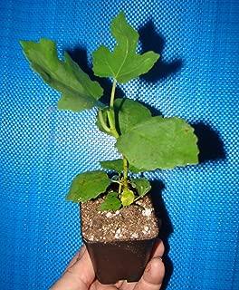 LSU Purple Edible Fig Plant - Ficus carica - Sweet - 2.5