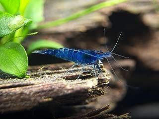velvet shrimp