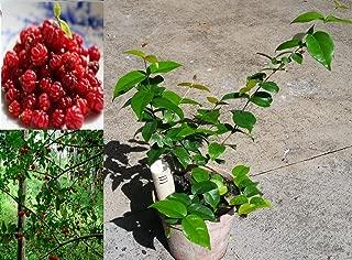 pitanga fruit tree