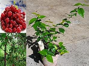Best surinam cherry plant Reviews