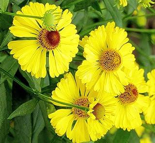 Helenium autumnale | Helens Flower | Common Sneezeweed | 100_Seeds