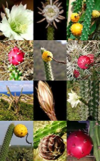 Harrisia Cactus Mix, Sold By Exotic Cactus, Cacti Rare Succulents Seed 50 Seeds Package