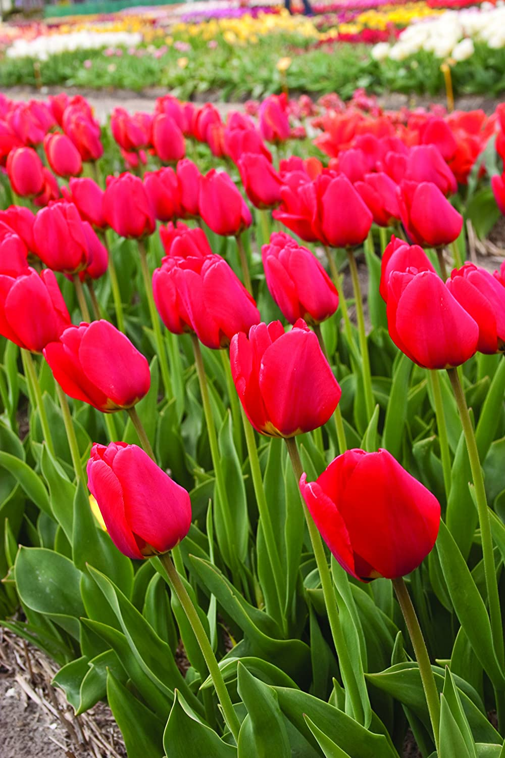 Red Tulips Darwin In a popularity Hybrids 25 Bulbs Special price for a limited time Van - Eijk Tulip