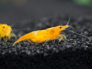 Aquatic Arts 10 Live Orange Sakura Shrimp (Neocaridina davidi) - Breeding Age Young Adults at 1/2 to 1 Inch Long