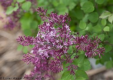3 Gal. Bloomerang Dark Purple Reblooming Lilac (Syringa) Live Shrub, Purple Flowers
