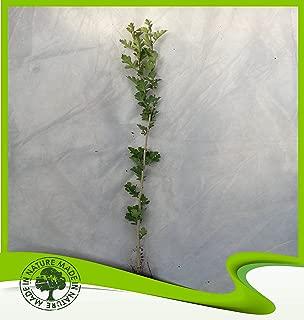 Crataegus monogyna (Hawthorn) - Plant