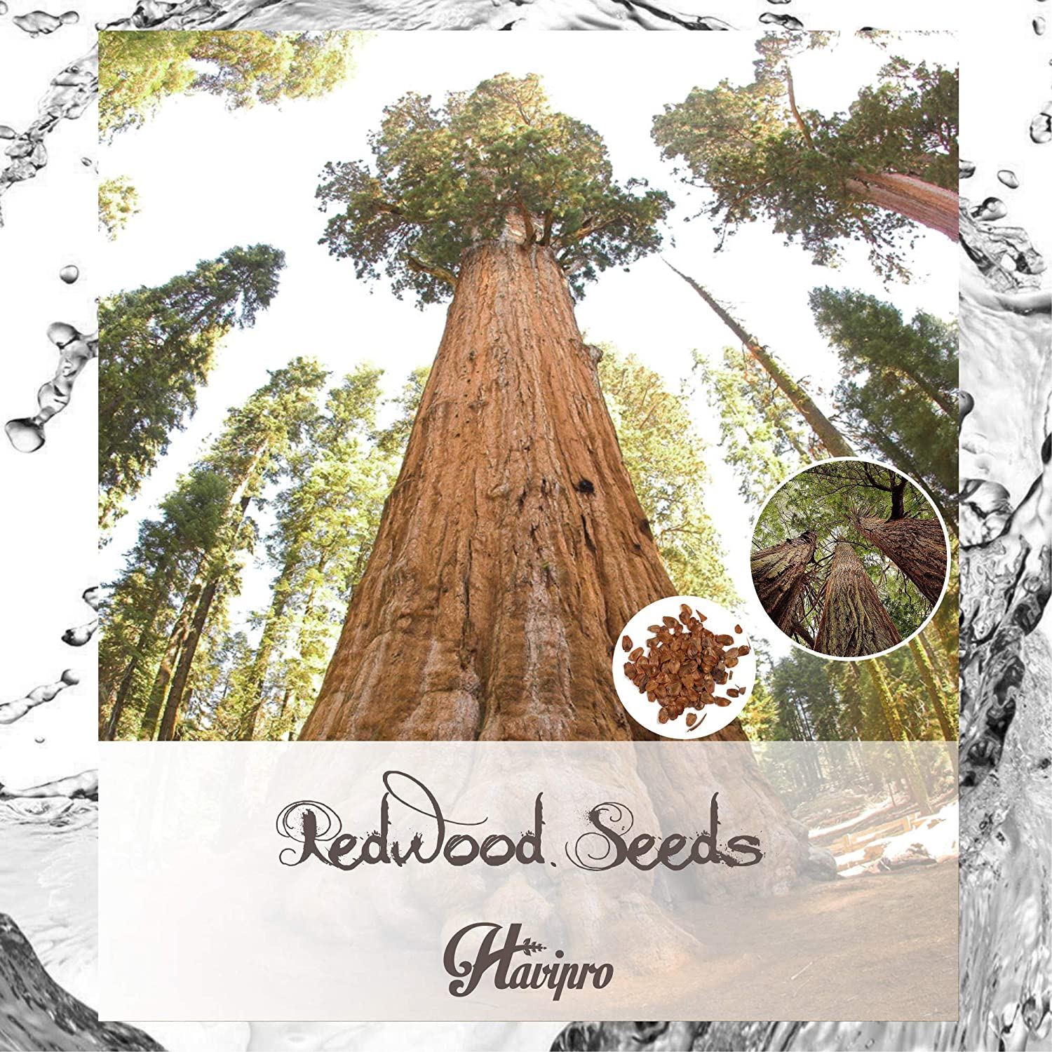 100 Redwood Seeds Giant Sequoia by HAVIPRO Sierra Redwood Tree Seeds for Planting Sequoiadendron Giganteum Giant California Redwood Seeds