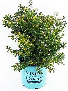 Bushel and Berry - Vaccinium cor. Blueberry Glaze (Blueberry) Edible-Shrub, , #2 - Size Container