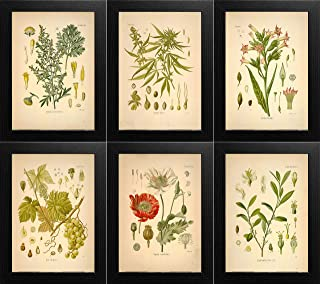 Ink Inc. Psychoactive Plants Botanical Drawings Vintage Art Prints, Set of 6, 8x10in, Unframed, Cannabis Coca Opium Poppy Tobacco Wormwood Grapes