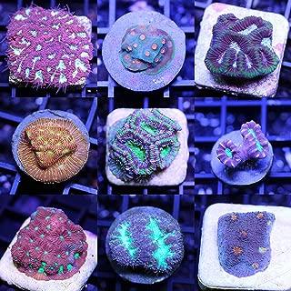 LPS 6 Frag Pack Live Coral Aquarium Reef Empire